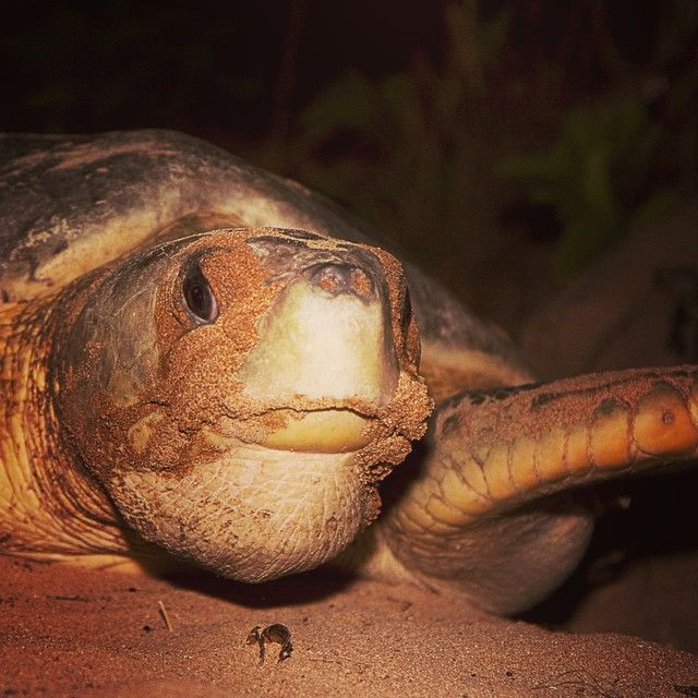 It's #Flatback Friday - happy weekend!  New Moon #turtle tours next week. #seadarwin #ecotourism #wildlife #TopEndNT #NTAustralia