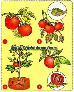 Выращивание помидоров - посадка и уход от А до Я   Сайт о саде, даче и комнатных растениях.