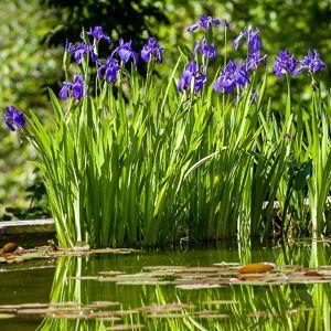 Best 25 japanese iris ideas on pinterest iris flowers for Japanese pond plants