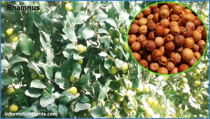 فوائد السدر او النبق Buckthorns فوائد النبات فوائد معلومان عامه معلوماتية نبات حيوان اسماك فوائد Grapes Fruit Food
