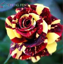 Image result for pictures of dragon roses