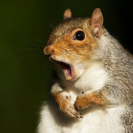 Did you know squirrels front teeth never stop growing? Their teeth grow six inches per year so they have to have hard things to chew on like branches to help file their teeth down. My squirrels have branches, chew sticks and toys, seashells, and antlers to chew on. And of course, they also like to chew on my walls and furniture! Lol!❤️️️