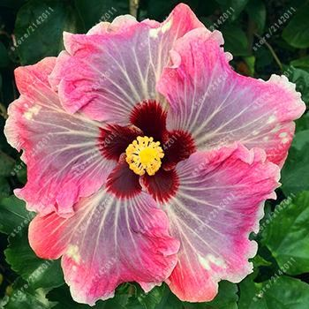 100pcs/bag hibiscus flower seeds giant hibiscus seed bonsai flower seeds outdoor plant seeds for home garden easy to grow