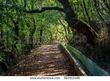 Madeira Levada typical walking and hiking path Furado leads from Ribeiro Frio through laurisilva laurent rain forest beautiful trees.