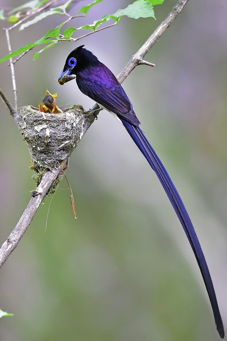 352 best birds blue turquoise images on pinterest beautiful black paradise flycatcher young sung bae a male with very long tail feathers feeding chicks what a beautiful bird izmirmasajfo Images