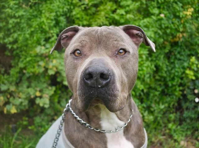 Meet Diesel, an adoptable American Staffordshire Terrier looking for a forever home. If you're looking for a new pet to adopt or want information on how to get involved with adoptable pets, Petfinder.com is a great resource.