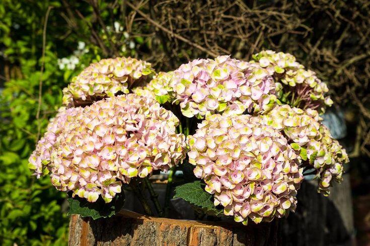 Die Hortensie- Blume der Schönheit und Bewunderung.  Wunderschön ist sie wirkl… – Gemuse Garten