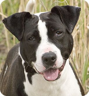 Chicago, IL - American Pit Bull Terrier Mix. Meet Molly, a dog for adoption. http://www.adoptapet.com/pet/12958502-chicago-illinois-american-pit-bull-terrier-mix