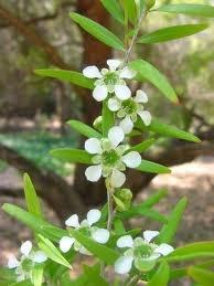 Leptospernum Color Blanco