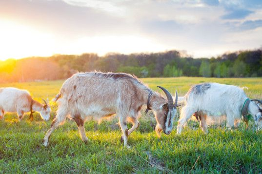 Rent a herd of goats on Amazon to mow your lawn