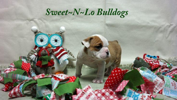 Akc english bulldog puppies for sale nashville tn