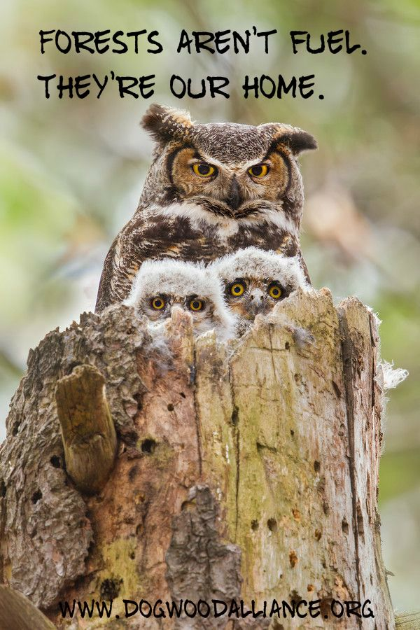 Are you with the Great Horned Owl? Protect our forests from being clearcut, shipped to Europe, & burned for electricity.  www.dogwoodalliance.org/takeaction