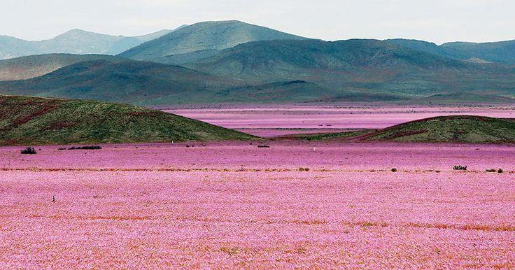 Il deserto di Acatama si copre di un coloratissimo tappeto floreale.