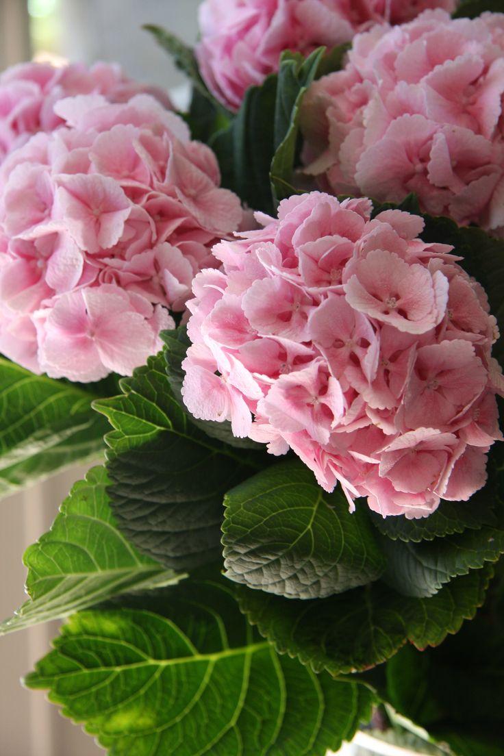 hydrangea lolipop pink