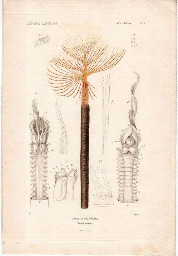 1836 annelid anatomy print original antique rare sea life ocean marine beach print - tube ringed & segmented worm