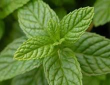Benefits of Peppermint Leaf        Promotes the elimination of foreign particles      Aids in digestion by calming the stomach      Relaxes the intestinal muscles to reduce cramping      Provides natural relief for respiratory difficulties      Reduces feelings of nausea and heartburn      Improves bile production and flow      Discourages the growth of harmful bacteria in the stomach