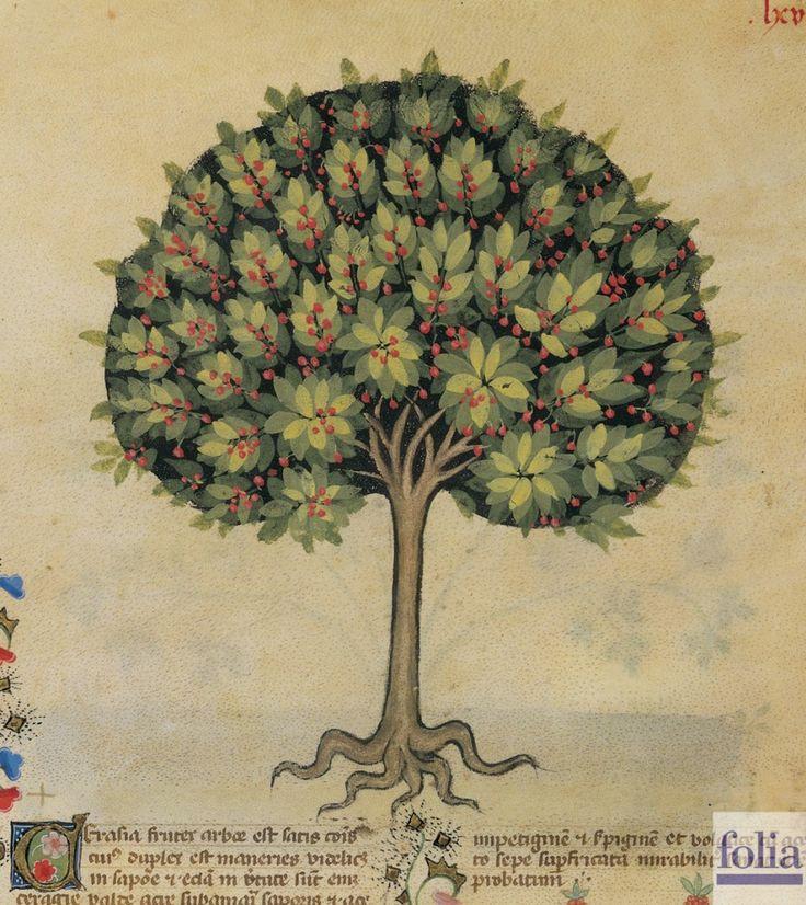 """CONSIGLI DAL MEDIOEVO: LE CILIEGIE - """"Le ciliegie hanno la virtù di confortare, di generare buon sangue, giovano pure contro il dolore del fegato e l'itterizia, sciolgono il ventre, provocano l'urina, calmano la sete, conferiscono il colore buono"""". Dal codice """"Historia Plantarum"""", fine XIV secolo."""