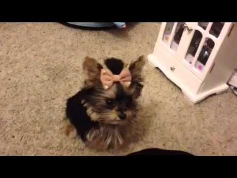 Misa Minnie is 20 weeks old in this video and has learned some fun new tricks! She loves running playing and most of all eating. She is home trained and we used Stella and chewy treats in this video.    I still think she's the worlds smartest Yorkie puppy! But I am also still bias LOL Watch the original video here and see what she's been learning ...