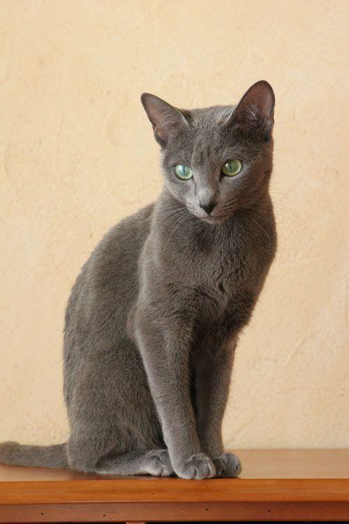 Ce n'est pas Kiloubi, mais un chat bleu russe comme lui. J'ai sauvé un chat gris russe, perdu , appelé aussi bleu russe , sans le prendre chez moi, car j'ai atteint le chiffre maximum de 5 chats chez moi, et ça donne tellement de travail..que je me suis...