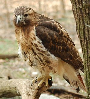 BuzzFEED quiz: What kind of bird are you? I got Red-Tailed Hawk.