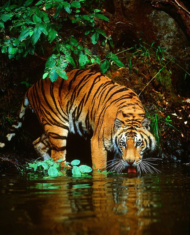 Amazing wildlife - Bengal Tiger in water photo #tigers central India by Jim Zuckerman: