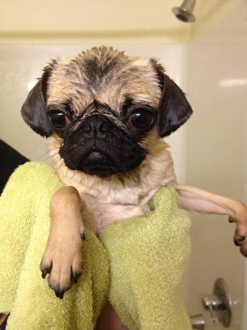 wet pug!Wet Baby, Wet Puggies, Wet Pugs, Spa Day, Shower Pugs, Pugs Dogs, Time Pugs, Poor Baby, Animal