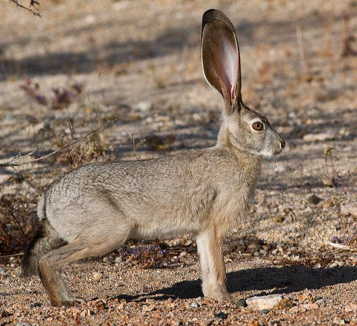 Desert Jackrabbit Desert Blacktail Jackrabbit. Desert Jack