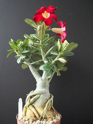 ★☯★ ☽ #Bonsai #Tree or #bonzai ☾ ★☯★  Adenium Obesum Cultivar Miss Thailand RARE Flower Desert Rose Bonsai