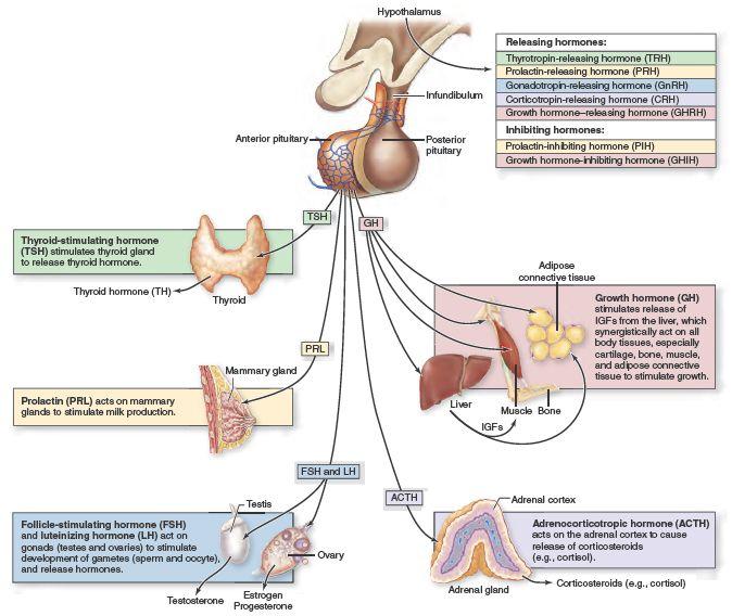 Anterior Pituitary Hormones The Hypothalamus Releases Regulatory