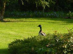Wild guest in garden. Mallard