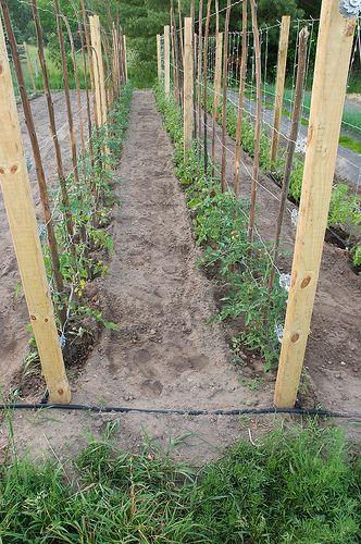 Tomato Trellis, so need to do this! would be way better than the cages!!