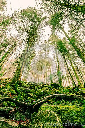 Tall trees in Transylvania`s foggy forest