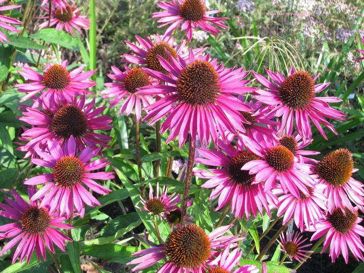 Echinacea purpurea, ook wel Rudbeckia purpurea. Houd van zon en bloeit van juli- september geen bijzondere eisen aan de grond.