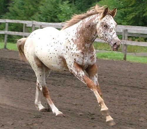 Red Roan Appaloosa Other Horses Appaloosa Horses