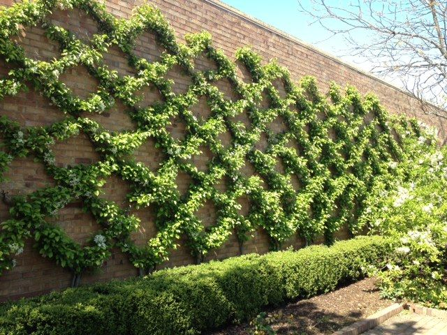 Brick wall perfectly covered in climbing plants shaped into a trellis pattern...