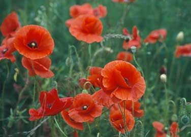 Amapola, Amapolas, Ababol - Papaver rhoeas/ Anemone - Amapola:  flor nacional de Belgica