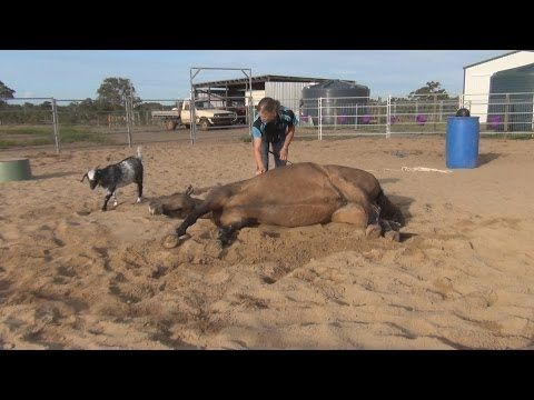 How to teach your horse to lay on his side ~ 3 methods. [video]