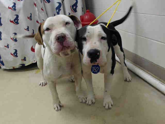 12/03/16-HOUSTON FACILITY OVER CAPACITY - ALL ANIMALS ARE SUPER URGENT - TAZ - ID#A473271 My name is TAZ I am a male, white and brown American Bulldog and Pit Bull Terrier. My age is unknown. I have been at the shelter since Nov 30, 2016. This information was refreshed 24 minutes ago and may not represent all of the animals at the Harris County Public Health and Environmental Services.