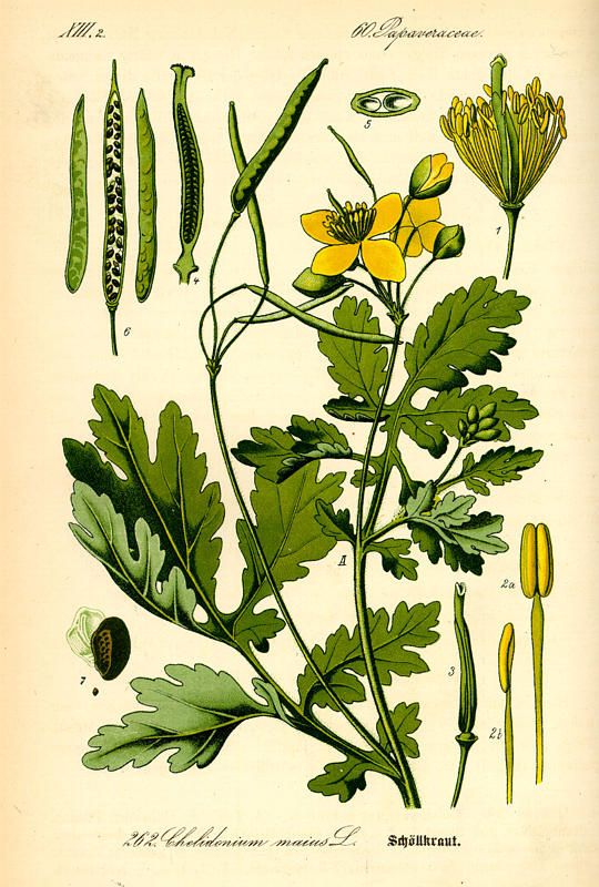 Greater celandine, in Flora von Deutschland, Österreich und der Schweiz (1885) by Thomé. © Kurt Stueber, 2007. GNU Free Document License. [greater celandine, Chelidonium majus, Papaveraceae]
