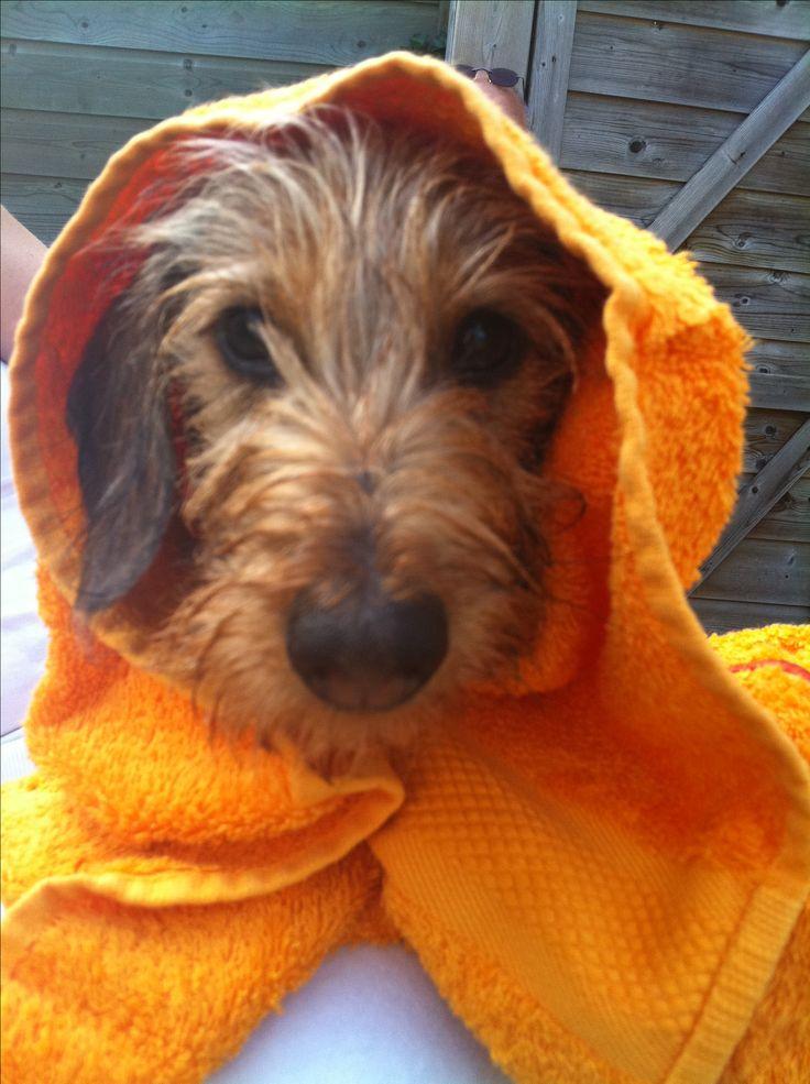 Hummer, miniature wire-haired dachshund. #dachshund #doxie #teckel
