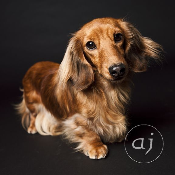 Ruby A Gorgeous Long Hair Dachshund Photographed In San