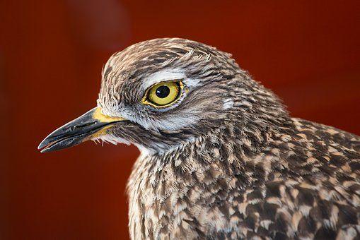 Oiseau, Plumes, Oeil Perçant