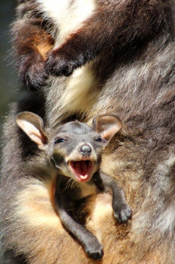 baby kangaroo looking happy