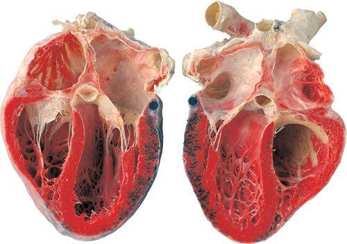 Heart, opened longitudinally © Gunther von Hagens' Body Worlds, Institute for Plastination, Heidelberg, Germany, www.bodyworlds.com