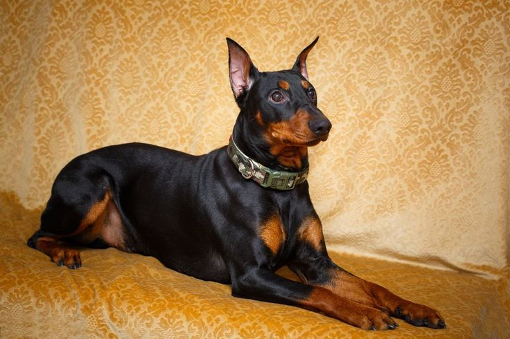 THE GERMAN PINSCHER .  Akita - Dog Accessories online store,   Find the Best Dog Breeds, Dog breeds medium, dog breeds for kids, dog breeds for kids, puppies cute, puppies training, puppies stuff, popular dog breeds, popular dog breeds, popular dog names puppies, dog breath remedy,  Visit our site for Best Dog Breeds and best Popular Dog Accessories.