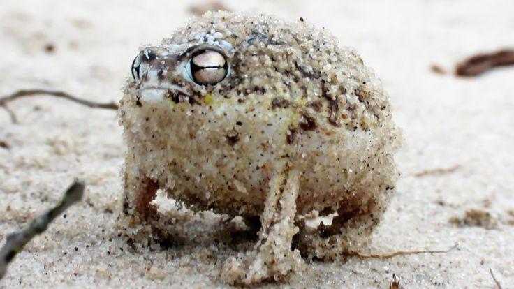 Cette vidéo de la BBC montre la Breviceps macrops, une espèce d'amphibien…