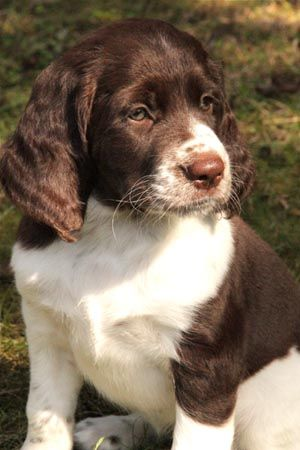 French Spaniel * a large dog with perfect hunting abilities. You can read about this #dog breed here!