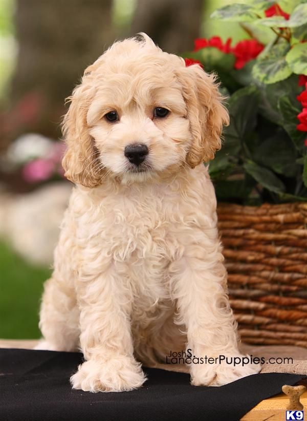 cockapoo puppy - I bet this is just how my Sammy looked as a puppy!!!  *sniff* my sweet baby