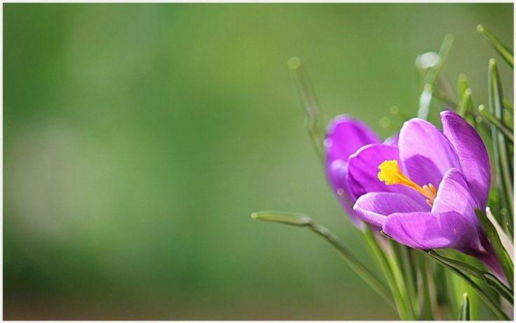 Crocus Pink Flower Wallpaper | crocus pink flower wallpaper 1080p, crocus pink flower wallpaper desktop, crocus pink flower wallpaper hd, crocus pink flower wallpaper iphone