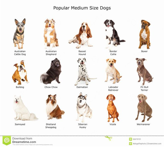 37 Best Medium Sized Dog Photos Of Popular Cute Medium Sized Dogs